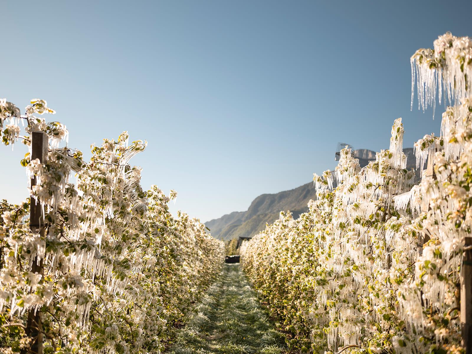 Eingefrorene Blüten nach der Bewässerung
